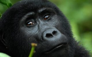3 Days Gorilla Habituation Experience