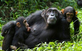 3 Days Kibale Chimpanzee Trekking