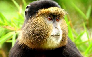4 Days Gorillas & Golden Monkeys